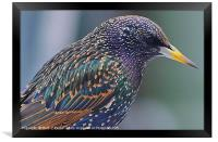 Starling Colours, Framed Print
