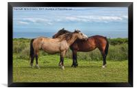 The Lundy Ponies, Framed Print