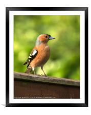 Male Chaffinch, Framed Mounted Print