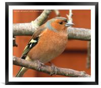 Male Chaffinch 4, Framed Mounted Print