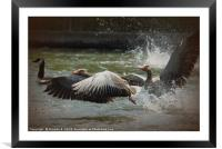 White Fronted Geese, Framed Mounted Print