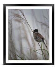 Male Reed Bunting, Framed Mounted Print