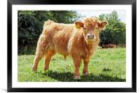 Highland Cow, The Inquisitive Calf, Framed Mounted Print