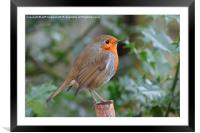 Yet another British Robin , Framed Mounted Print