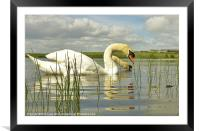 Two headed Swan, Framed Mounted Print