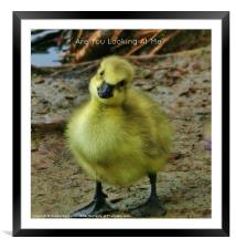 Cute Baby Gosling, Framed Mounted Print