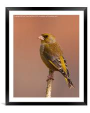 Greenfinch, Framed Mounted Print