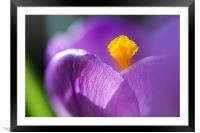 Crocus, Framed Mounted Print