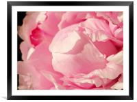 Pink Peony, Framed Mounted Print
