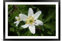 Wood Anemone, Framed Mounted Print