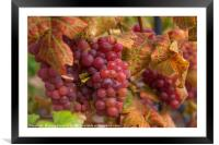 Juicy Taste Of Autumn. Red Grapes Clusters 1, Framed Mounted Print