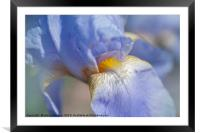 Beauty Of Irises. Bandmaster Macro, Framed Mounted Print