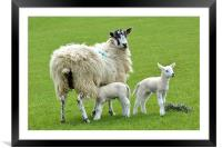 Spring Time for the Lambs, Framed Mounted Print