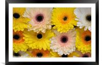 Colourful gerbera daisies , Framed Mounted Print