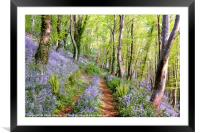 Bluebells woods near  Looe in South East Cornwall, Framed Mounted Print