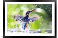 Into the Sun Kingfisher, Framed Mounted Print