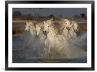 Camargue Horses running in water, Framed Mounted Print