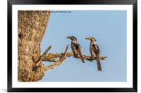 Southern Yellow Billed Hornbill, Framed Mounted Print