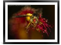 Fly captured by a Cape Sundew Plant, Framed Mounted Print