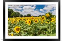 Sunflowers in Boussac, Framed Mounted Print
