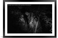 A lioness in the African Bush late at night, Framed Mounted Print