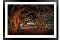 1000 year old yew tree at Aberglasney gardens, Framed Mounted Print