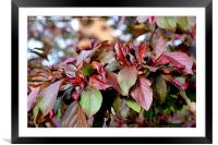 Malus blossom (Crab apple), Framed Mounted Print