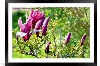 Magnolia flower head almost fully open.s, Framed Mounted Print