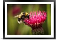 Busy bee, Framed Mounted Print