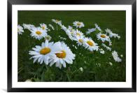 white daisies, Framed Mounted Print