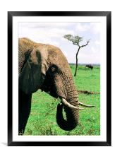 JST2914 Elephant feeding, Framed Mounted Print