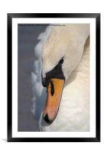 The Mute Swan, Framed Mounted Print