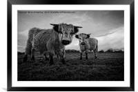 Two Shaggy Cows, Framed Mounted Print