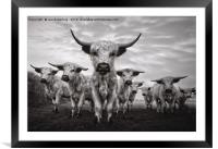 Highland Cattle Mixed Breed Mono, Framed Mounted Print