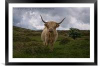 Highland Cow Roaming Free, Framed Mounted Print