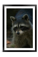 Raccoon, Framed Mounted Print