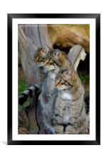 scotish wildcats, Framed Mounted Print