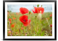 Poppies In The Breeze, Framed Mounted Print