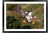 Puffin with Sand Eels, Framed Mounted Print