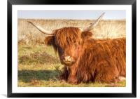 Lazy Cow, Framed Mounted Print