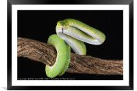 Green tree python, Framed Mounted Print