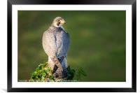 Peregrine falcon, Framed Mounted Print
