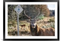 Stag at the Passing Place, Framed Mounted Print