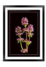 A Thyme of Beauty, Framed Mounted Print