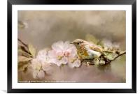 Young Robin with Blossom, Framed Mounted Print