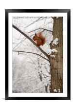 Squirrel sitting on twig in snow and eating, Framed Mounted Print