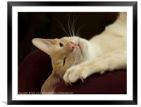 Reclining Siamese Cat , Framed Mounted Print