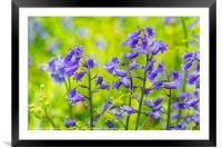 Beautiful bluebells in the forest of Scotland, Framed Mounted Print