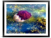 Jellyfish of the Isle of Bute Scotland, Framed Mounted Print