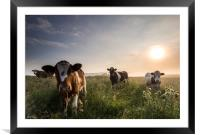 Nosey Cows, Framed Mounted Print